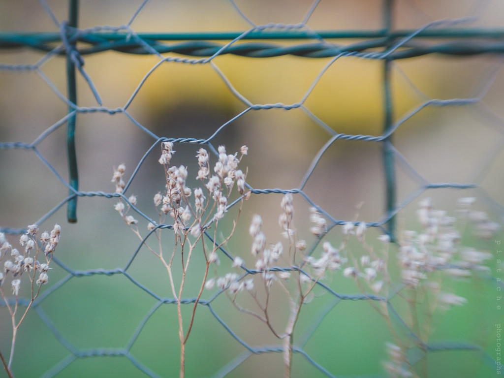 weeds and fence by pistache