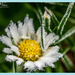 Frosted Daisy (best viewed on black) by carolmw