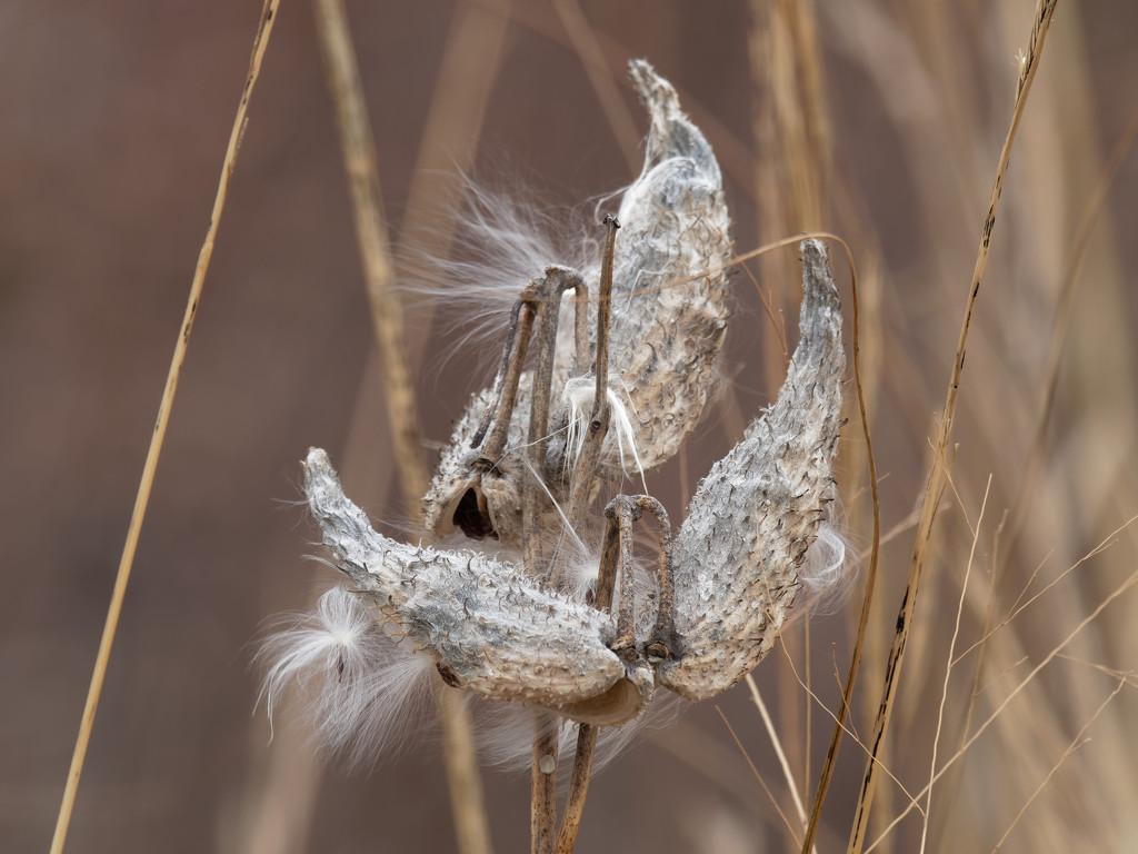 milkweed by rminer