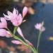 Kaffir Lily (original)  by madeinnl