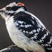 Hairy Woodpecker by skipt07