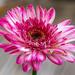 Pink Gerbera by yorkshirekiwi