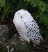 18th Nov 2018 - Happy (monochrome) Snowy Owl
