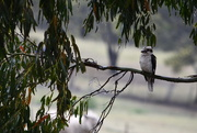 24th Nov 2018 - Kookaburra