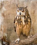 24th Nov 2018 - owl