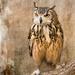 owl by shepherdmanswife