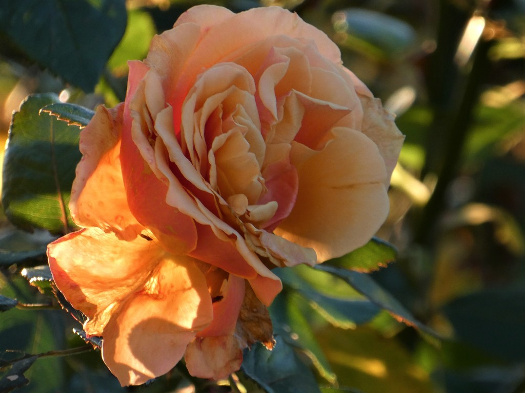 Roses by flowerfairyann
