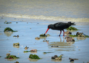 25th Nov 2018 - Oystercatcher picking at a shell