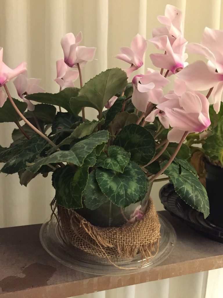 Dad's cyclamen is blooming  by kchuk