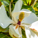 Magnolia Flower by yorkshirekiwi