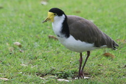 26th Nov 2018 - I'm called a masked lapwing plover for a reason!