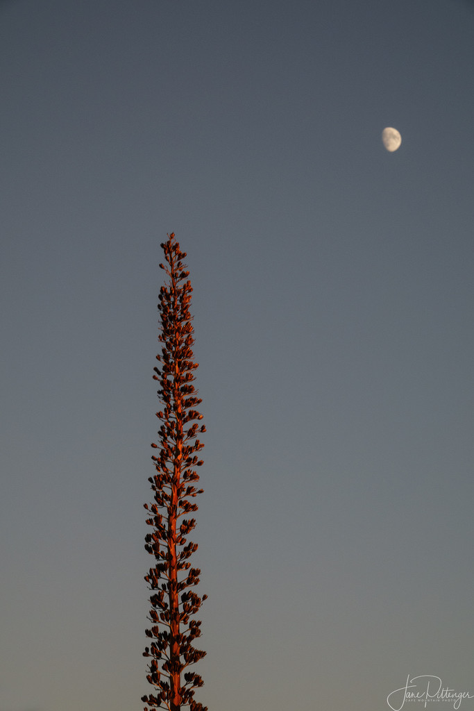Maguey reaching for the Moon  by jgpittenger