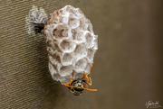 27th Nov 2018 - Paper Wasp