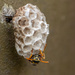 Paper Wasp by yorkshirekiwi