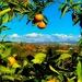 Newcastle Mandarin Ranch by gardenfolk