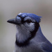 Backdoor Blue Jay by berelaxed