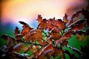 27th Nov 2018 - Oak Leaves at Sunset