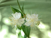 28th Nov 2018 - Common Myrtle
