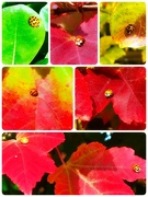 30th Nov 2018 - Ladybug...Ladybug