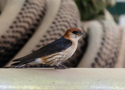 27th Nov 2018 - Greater Striped Swallow