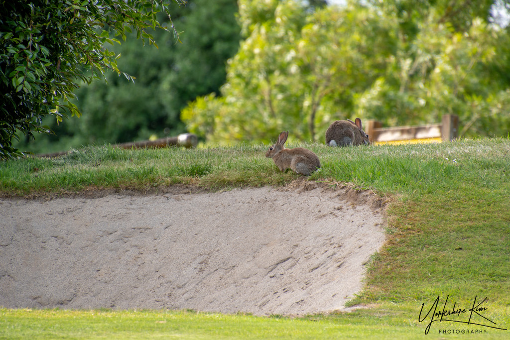 Rabbits in the bunkers by yorkshirekiwi