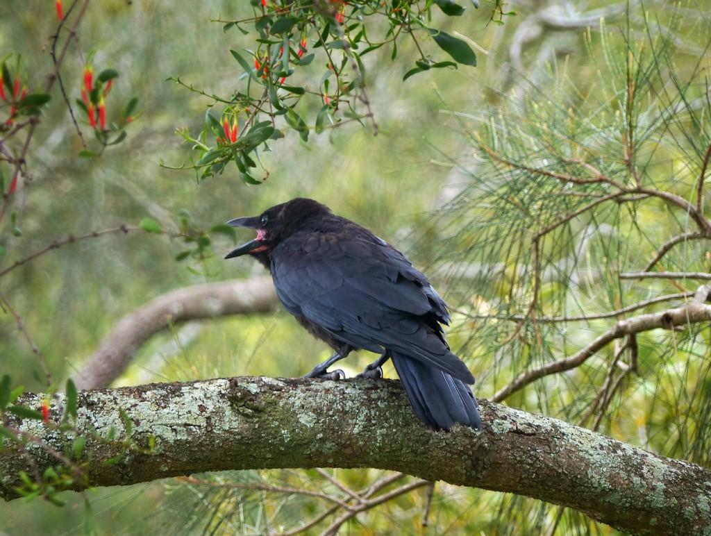Juvenile Torresian Crow by judithdeacon