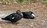 28th Nov 2018 - Muscovy Duck