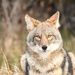 Coywolf by kareenking