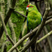 Kākāriki - Red Headed Parakeet by yorkshirekiwi
