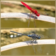 29th Nov 2018 - Colourful Dragonflies,