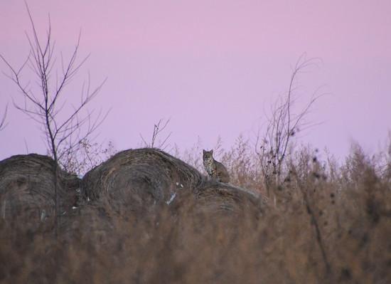 Bobcat on Haybale by kareenking