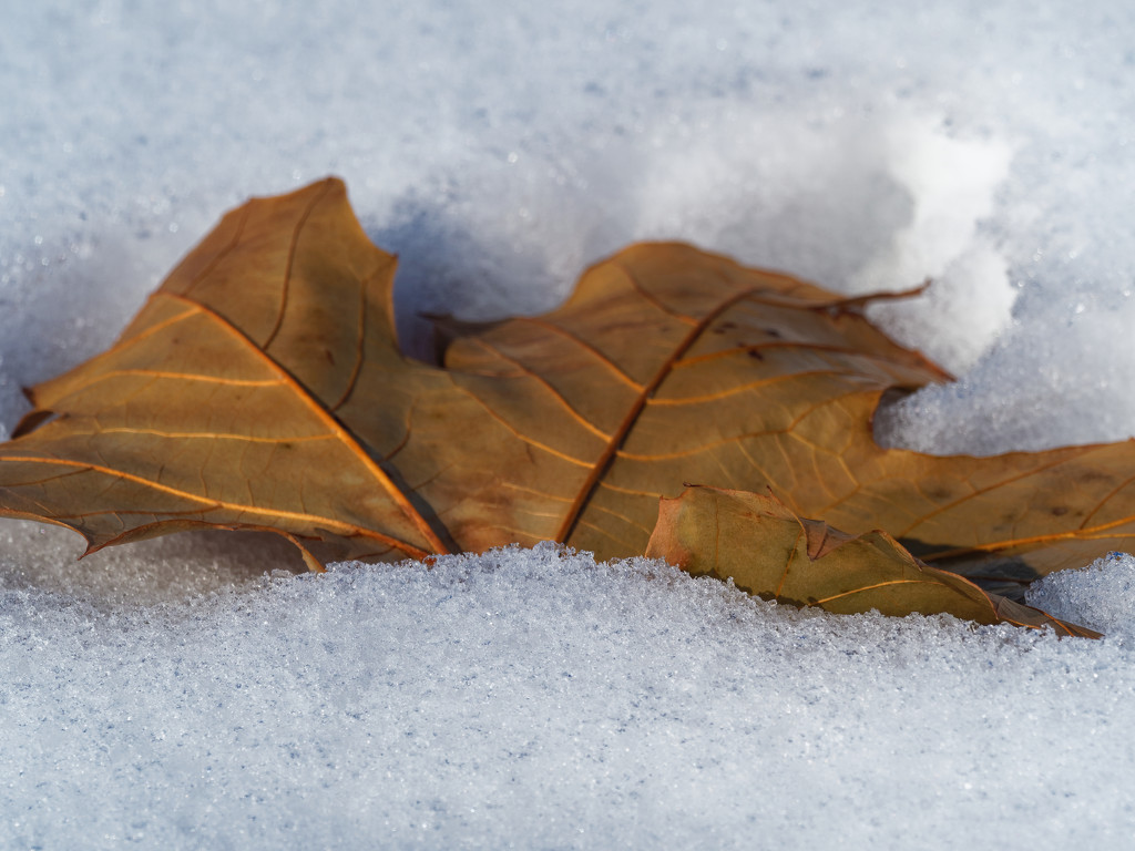 leaf in snow by rminer