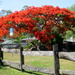 Poincianna Tree Mt  Omney   Brisbane by 777margo