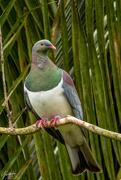 1st Dec 2018 - Kererū - NZ Pigeon