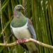 Kererū - NZ Pigeon by yorkshirekiwi