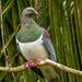 Kererū - NZ Pigeon by yorkshirekiwi