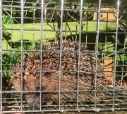 1st Dec 2018 - Hedgehog caught - again!! Update 3pm Saturday