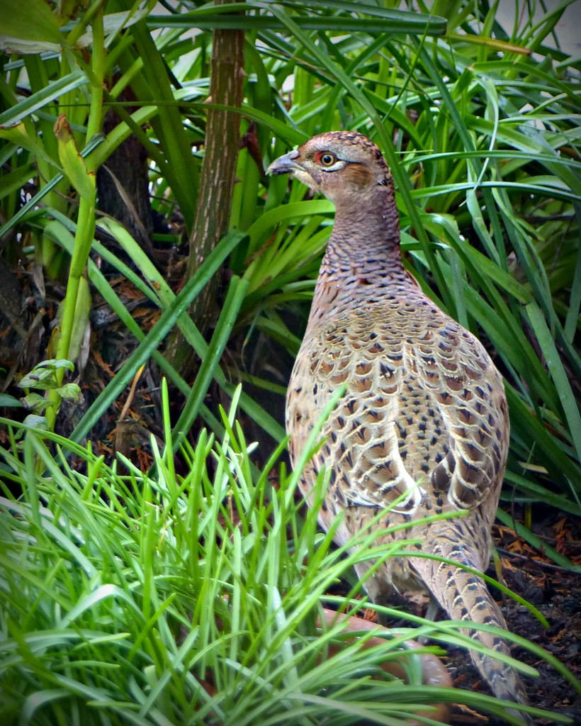 Hen Pheasant by judithdeacon