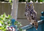 30th Nov 2018 - Owl