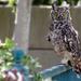 Owl by salza