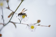 2nd Dec 2018 - Mexican Honey Wasp