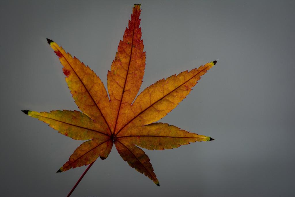 Momiji leaf by tokyobogue