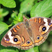"""Common Buckeye"""