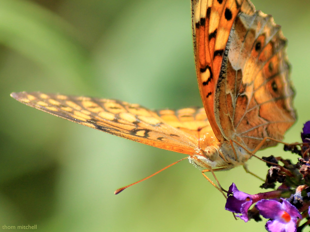 """""""Variegated Fritillary"""" by rhoing"""