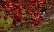 1st Dec 2018 - Lotz of Berries