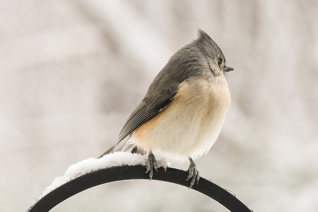 Tufted Titmouse by cm_saratoga