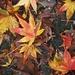 LHG_1831 leaves