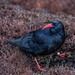 Chough by inthecloud5