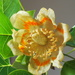 Tulip Poplar flower ,these trees take 20yrs to flower by Dawn