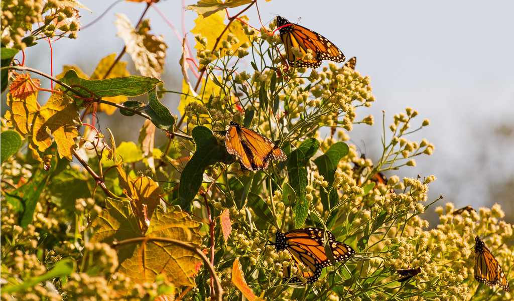 Monarch's Hitting the Pollen! by rickster549